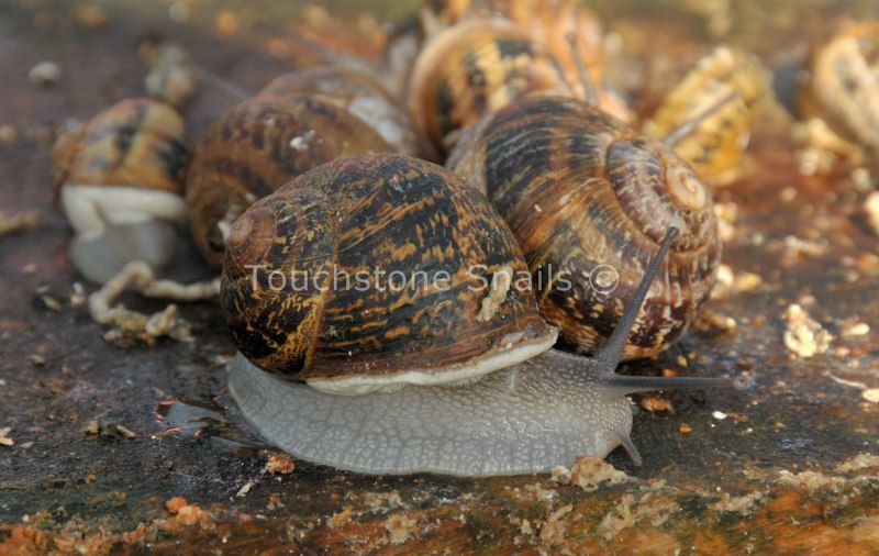 Snail Market - Discovering Viability Of Snail Farming